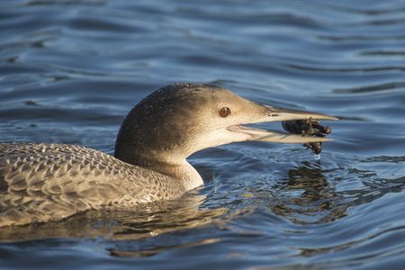 gavia: Portrait of a Common Loon Gavia immer in winter plumage eating a small Crayfish