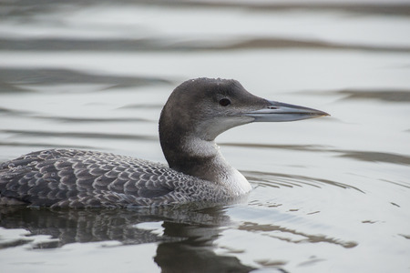 gavia: Great Northern Loon Gavia immer portrait in winter plumage swimming in water