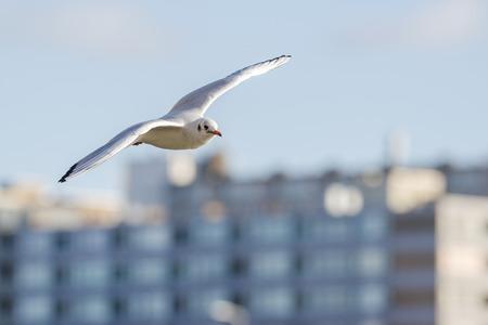 ridibundus: Black-headed Gull Chroicocephalus ridibundus in winter plumage flying around in the harbor with buildings in the background