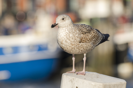 larus: European Herring Gull Larus argentatus standing on a juvenile Mooring Post in a Harbour Stock Photo