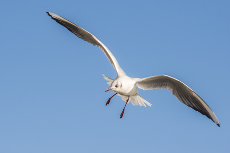 chroicocephalus: Black-headed Gull Chroicocephalus ridibundus in winter plumage in flight against a blue sky