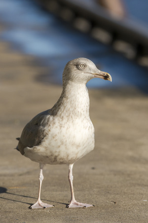 larus: European Herring Gull Larus argentatus almost adult standing on the quayside in a harbor Stock Photo