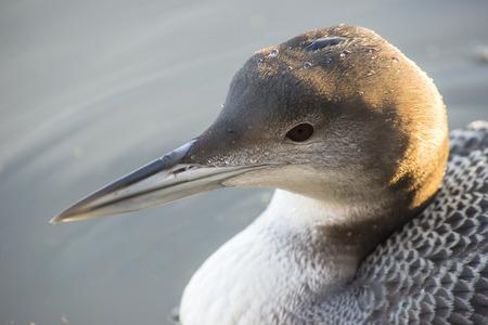 gavia: Portrait of a Great Northern Loon Gavia immer swiimming water Stock Photo