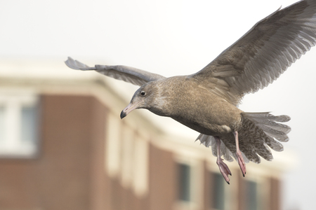 waterbird: Glaucous gull Larus hyperboreus in first winter plumage flying around in a harbor with buildings in the background Stock Photo