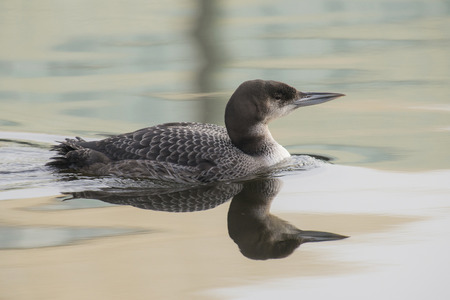 gavia: Great Northern Loon Gavia immer swimming in a canal Stock Photo