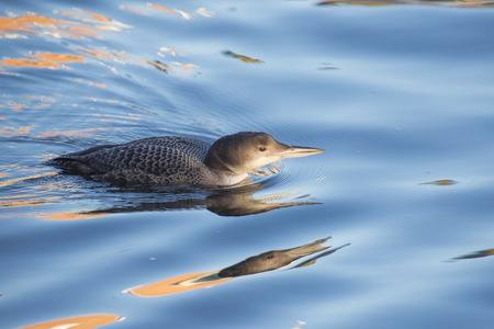 threatening: Great Northern Loon Gavia immer swimming in water in threatening pose