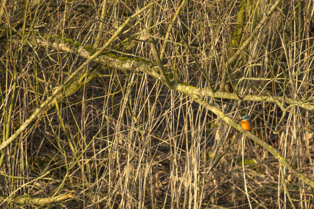 alcedo atthis: Common Kingfisher (Alcedo atthis) sitting on a branch in reed