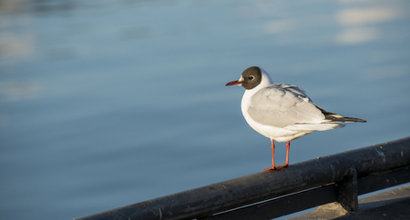 chroicocephalus: Black-headed Gull (Chroicocephalus ridibundus) almost in breeding plumage standing on the quayside on the railing Stock Photo