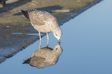 waterbird: European Herring Gull (Larus argentatus) juvenile standing in a small pool with reflections on the quayside in a harbour drinking water Stock Photo