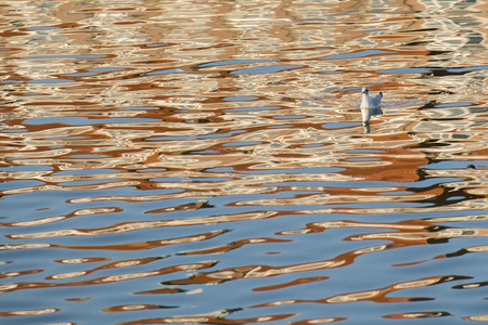 chroicocephalus: Black-headed Gull (Chroicocephalus ridibundus) in winter plumage swimming in water of a harbour with reflections