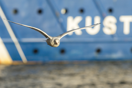 ridibundus: Black-headed Gull (Chroicocephalus ridibundus) in winter plumage flying around in the harbour with a ship in the background Stock Photo