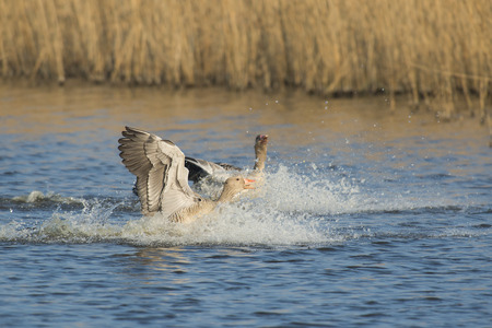 landed: Two Greylag Goose (Anser anser) just landed in water Stock Photo