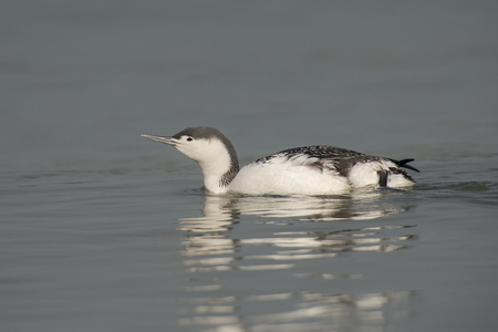 gavia: Red-throated Diver (Gavia stellata) swimming in water at the coast
