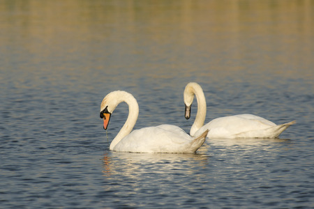 cygnus olor: Two Mute Swans (Cygnus olor) foraging in water Stock Photo