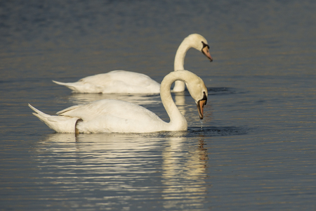 cygnus olor: Two Mute Swans (Cygnus olor) swimming in water Stock Photo