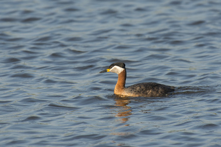 warm water fish: Red-necked Grebe (Podiceps grisegena) adult swimming in water Stock Photo