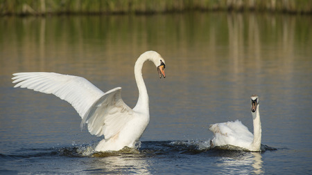 cygnus olor: Two Mute swans (Cygnus olor) swimming in water and making trouble