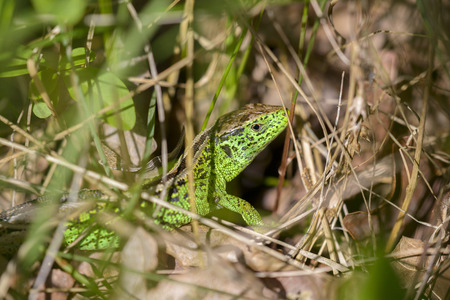 lacerta: Sand Lizard (Lacerta agilis) male in mating colours hiding in the vegetation Stock Photo