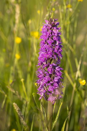majalis: Leopard Marsh Orchid (Dactylorhiza majalis ssp praetermissa var junialis) flowering in a meadow Stock Photo