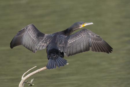 spread wings: Great Cormorant (Phalacrocorax carbo) drying its feathers with spread wings on a branch above the water Stock Photo