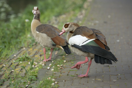 animal den: Two Egyptian Goose (Alopochen aegyptiacus) standing on the quayside at the Kortenaerkade in the Hague, Den Haag, the Netherlands Stock Photo