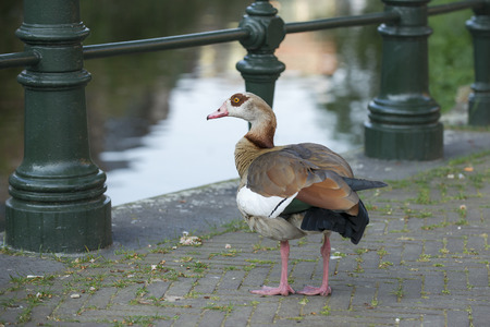 alopochen: Egyptian Goose (Alopochen aegyptiacus) standing on a Bridge over the Kortenaerkade in the Hague, Den Haag, the Netherlands Stock Photo