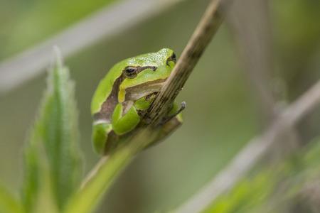 hyla: European Tree Frog (Hyla arborea) resting on a stem