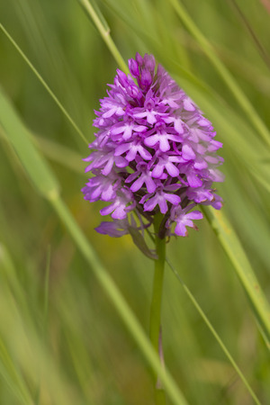 pyramidal: Pyramidal Orchid (Anacamptis pyramidalis) flowering in an Arboretum between the vegetation Stock Photo