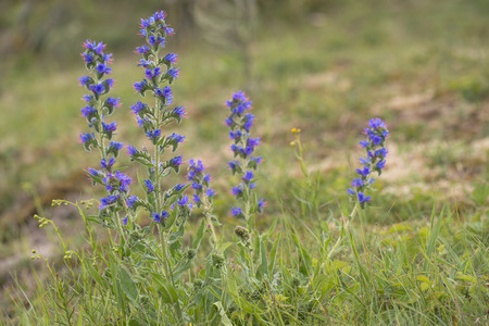 five objects: Vipers Bugloss (Echium vulgare) flowering in a Dune Valley Stock Photo