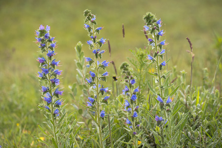 echium: Vipers Bugloss (Echium vulgare) flowering in a Dune Valley and visited by a Buff-tailed Bumblebee (Bombus terristris)