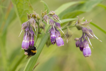 bombus: Common Comfrey (Symphytum officinale) flowering and visited by a Buff-tailed Bumblebee (Bombus terristris)