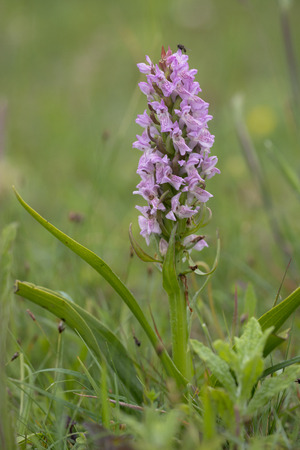 protected plant: Early Marsh Orchid (Dactylorhiza incarnata) flowering in a Dune Valley