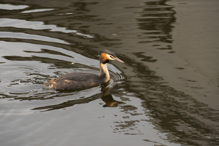 animal den: Great Crested Grebe (Podiceps cristatus) swimming in water with reflections Stock Photo