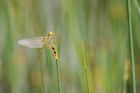 sympetrum: Common Darter (Sympetrum striolatum) fresh female resting on a stem
