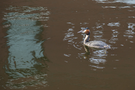 cristatus: Great Crested Grebe (Podiceps cristatus) swimming in water with reflections Stock Photo