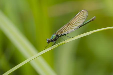 noord brabant: Banded Demoiselle (Caloptyrex splendens) female resting on a stem