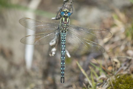hairy male: Hairy Hawker (Brachytron pratense) male resting on a Branch Stock Photo