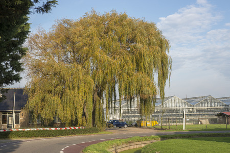 weeping willow: Weeping Willow (Salix babylonica)  in a Garden of a Horticulturist in the westland, the Netherlands