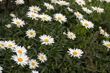 oxeye: Oxeye daisy (Leucanthemum vulgare) growing in a Garden in a flowerbed Stock Photo