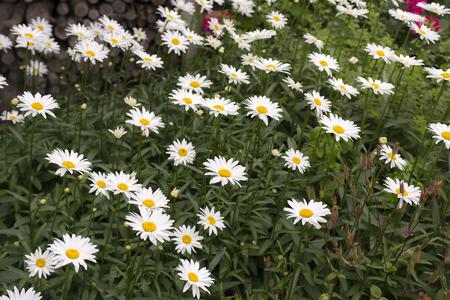 leucanthemum: Oxeye daisy (Leucanthemum vulgare) growing in a Garden in a flowerbed Stock Photo