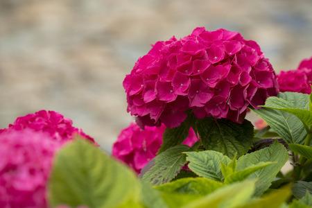 hydrangea macrophylla: Pink Hortensia (Hydrangea macrophylla) growing in a Garden Stock Photo