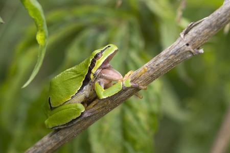 hyla: European Tree frog (Hyla arborea) resting on a Stem and yawning
