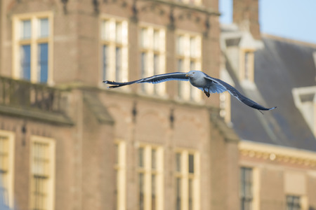 parliament building: Lesser Black-backed Gull (Larus fuscus) flying around at the Dutch Parliament Building, in the Hague, the Netherlands,