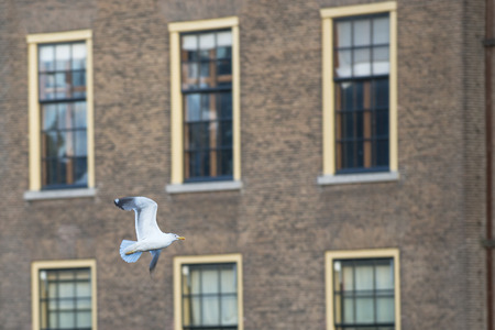 animal den: Lesser Black-backed Gull (Larus fuscus) flying around at the Dutch Parliament Building, in the Hague, the Netherlands,