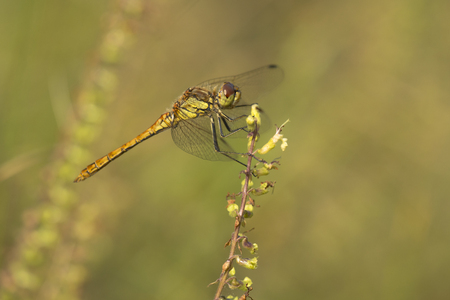 vagrant: Vagrant Darter (Sympetrum vulgatum) male resting on a twig Stock Photo