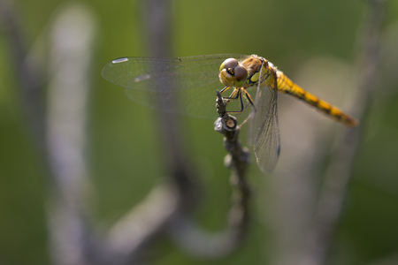 vulgatum: Vagrant Darter (Sympetrum vulgatum) female resting on a branch