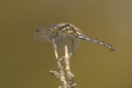 sympetrum: Black Darter (Sympetrum danae) female resting on a branch
