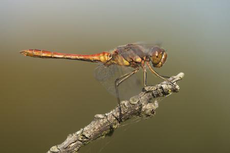 sympetrum: Vagrant Darter (Sympetrum vulgatum) male resting on a branch