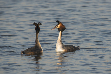 cristatus: Great Crested Grebe (Podiceps cristatus) couple courtshipping in water