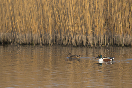 northern shoveler duck: Northern Shoveler (Anas clypeata) couple swimming in water alongside Reed